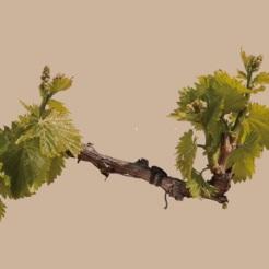 brotacion_viticultura_wineandtwits